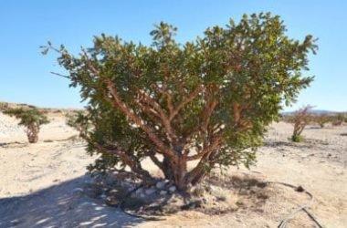 Boswellia: tutte le proprietà curative dell'albero dell'incenso