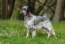 Photo of Tutto sul setter inglese, un cane socievole e affettuoso