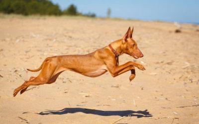 Cirneco dell'Etna, carattere e cura di un cane antichissimo