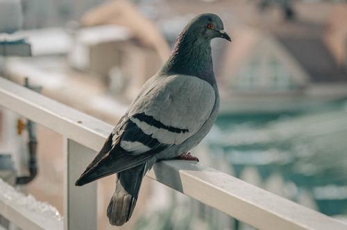 Come allontanare i piccioni con metodi naturali tuttogreen for Allontanare i gatti