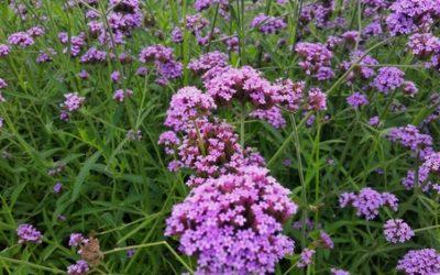 Verbena, una pianta molto usata sia in erboristeria che a scopo ornamentale