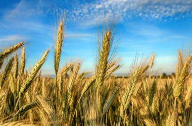 Segale: le proprietà di un antico cereale da riscoprire