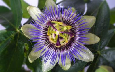 Proprietà della passiflora: la pianta del frutto della passione