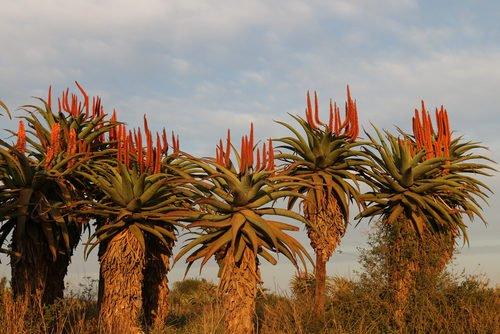 la pianta di Aloe Ferox