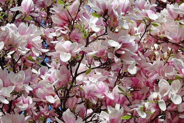 piante perenni albero magnolia