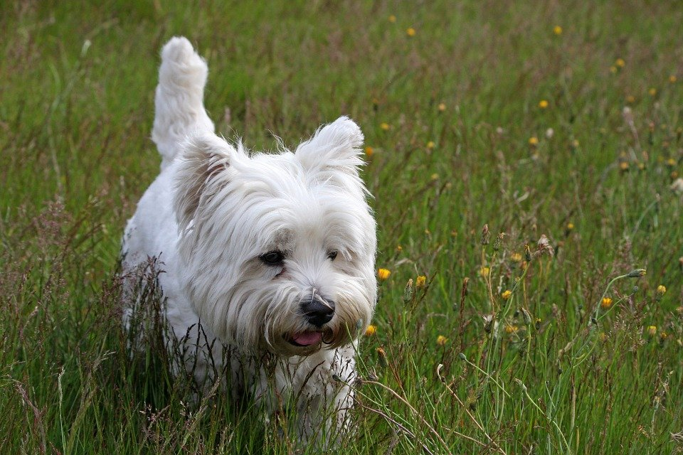 Photo of West Highland White Terrier: un cane gentiluomo
