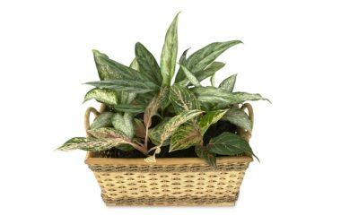 Dieffenbachia: tutti i segreti di questa pianta sempreverde
