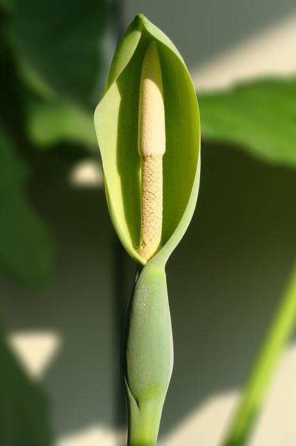 alocasia coltivazione