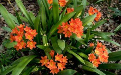 Clivia: tutto su questa pianta da appartamento dai fiori inconfondibili