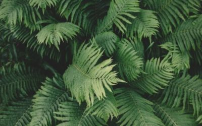 Capelvenere: tutto su questa pianta appartenente alla famiglia delle felci