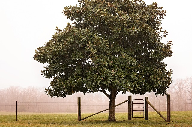 alberi sempreverdi