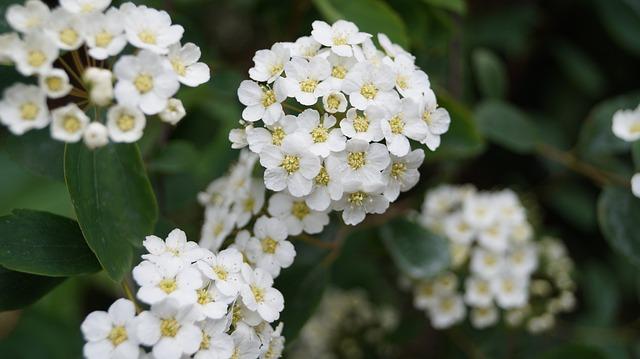 Arbusti da giardino variet caratteristiche e for Cespugli fioriti perenni da giardino
