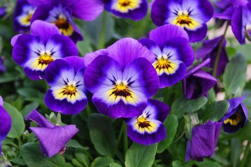 Viola: tutto su questa pianta così amata per i suoi fiori