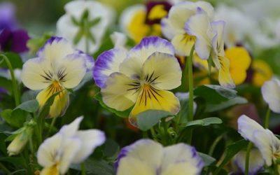 Piante biennali: varietà, coltivazione, cure