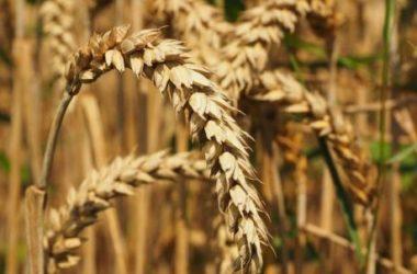Frumento: tipi di grano, proprietà e intolleranza