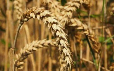 Frumento che cos 39 quali sono i tipi di grano propriet - Diversi tipi di figa ...