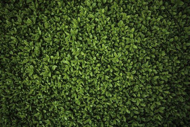 piante da siepe