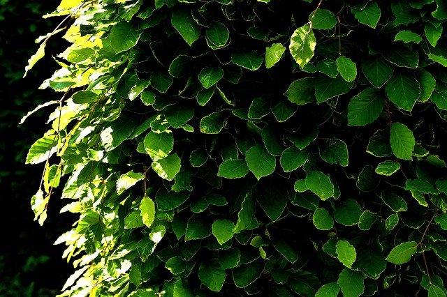 Piante da siepe variet tipologie e cure tuttogreen for Piante da siepe sempreverdi