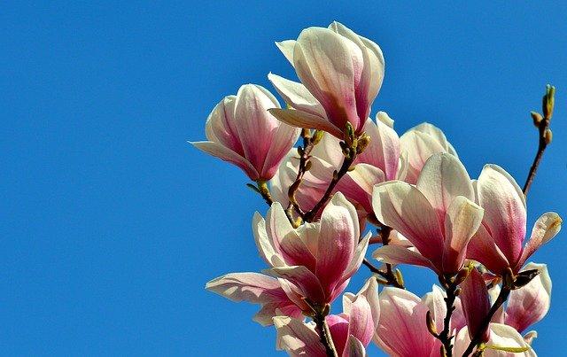 coltivazione magnolia