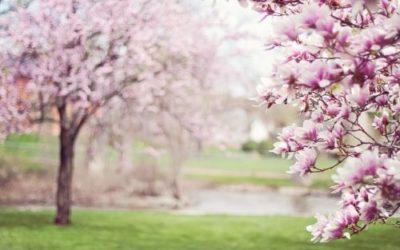 Magnolia: tutto su questo albero con bellissimi fiori colorati