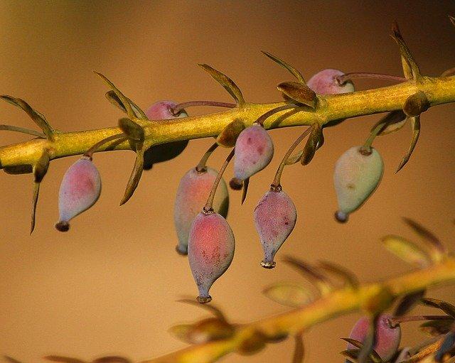 Mahonia bacche