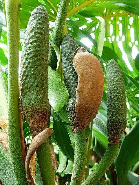 frutti filodendro