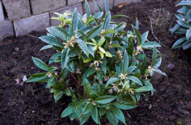 Tutto sulla sarcococca: una pianta amata per le fioriture invernali, ma non solo…