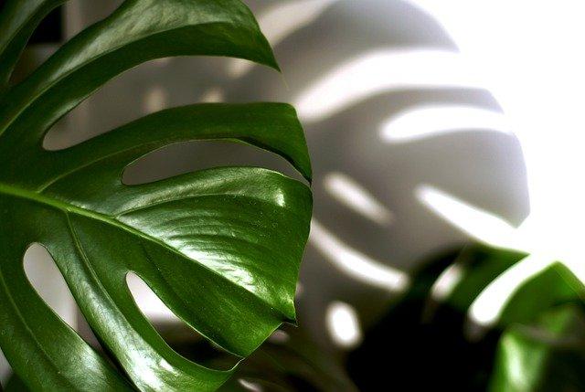 filodendro varietà