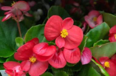 Begonia: tutti i segreti di questa pianta dai fiori belli e variopinti