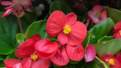 Photo of Begonia: tutti i segreti di questa pianta dai fiori belli e variopinti