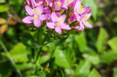 Centaurea minore: utilizzi in fitoterapia e nella medicina tradizionale