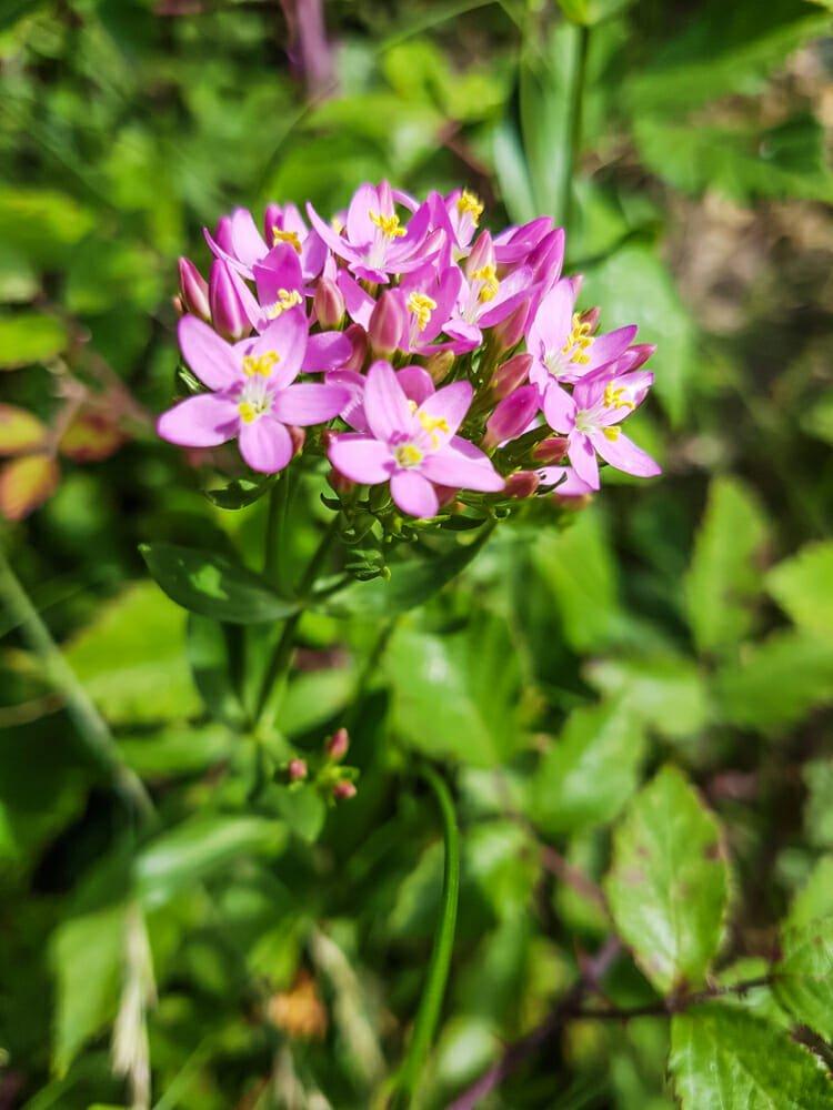 Photo of Centaurea minore: utilizzi in fitoterapia e nella medicina tradizionale