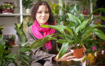 Aspidistra: coltivazione e cura di questa pianta da vaso