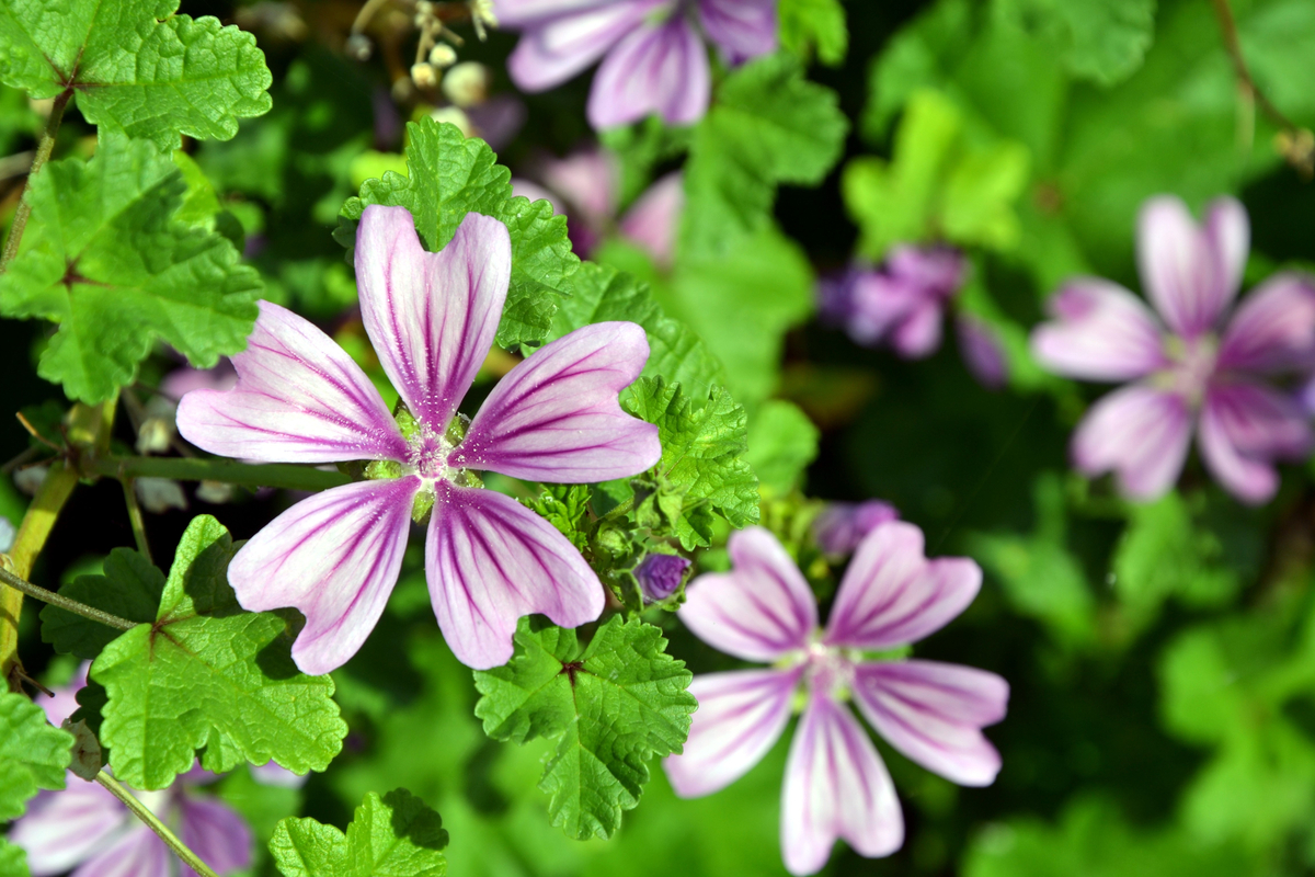Fiori Da Giardino In Montagna piante perenni: aree del giardino, varietà e coltivazione
