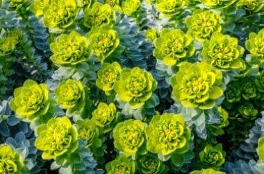 Speciale euforbia: quali sono le principali varietà di questa pianta tropicale, caratteristiche e coltivazioni