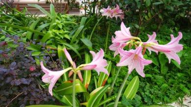 Photo of Amaryllis o Amarillide: una pianta tutta da scoprire