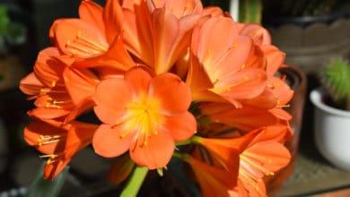 Photo of Clivia: tutto su questa pianta da appartamento dai fiori inconfondibili