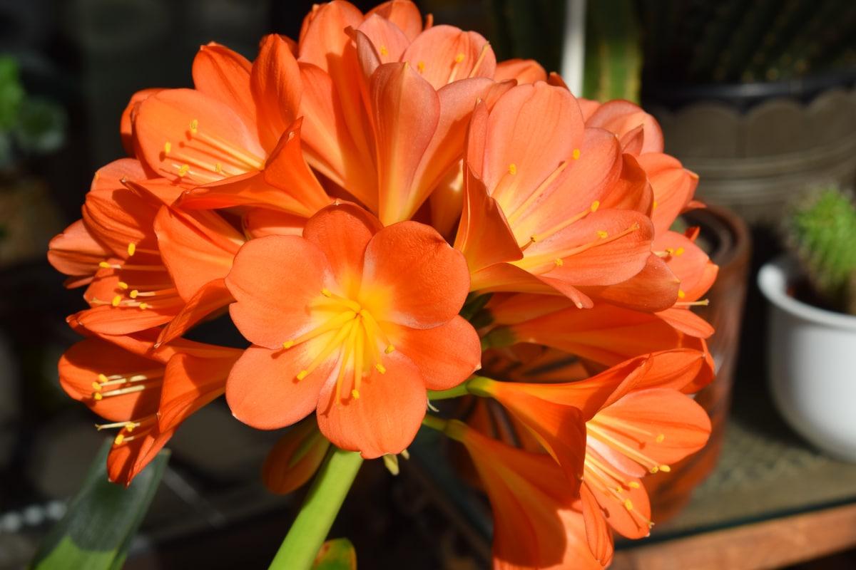 Fiori Da Balcone Ombra clivia coltivazione, riproduzione e cure di questa pianta