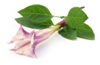 Datura pianta: scopriamo la Tromba del Diavolo, una pianta altamente velenosa