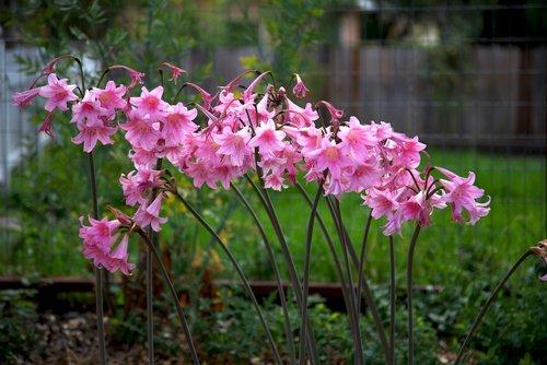 Photo of Amaryllis: una pianta tutta da scoprire