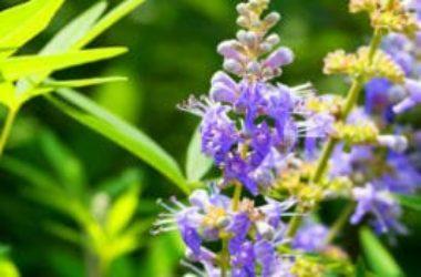 A cosa serve l'agnocasto, una pianta dalle caratteristiche davvero particolari
