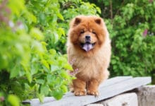 Photo of Chow chow, una razza di cani antica e misteriosa