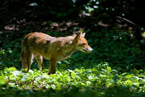 animali notturni volpe dei boschi