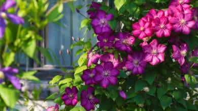 Photo of Clematis: come coltivare questa magnifica pianta rampicante