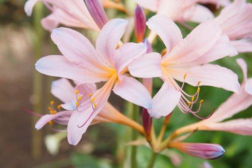 Amaryllis fiori