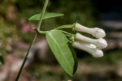 Stephanotis o Gelsomino del Madagascar