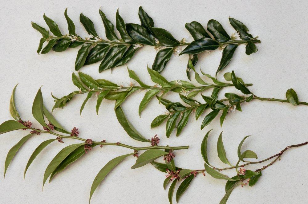 Photo of Tutto sulla sarcococca: una pianta amata per le fioriture invernali, ma non solo…