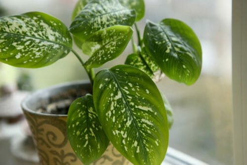Dieffenbachia tutti i segreti di questa pianta sempreverde - Piante da ufficio resistenti ...
