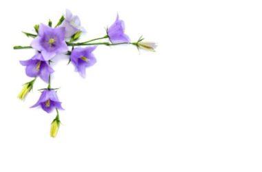 Campanula: tutto quello che devi sapere su questa pianta dagli splendidi fiori