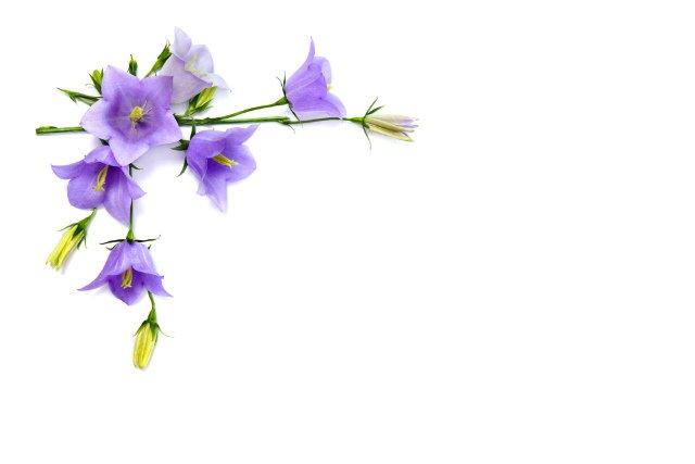Photo of Campanula: tutto quello che devi sapere su questa pianta dagli splendidi fiori